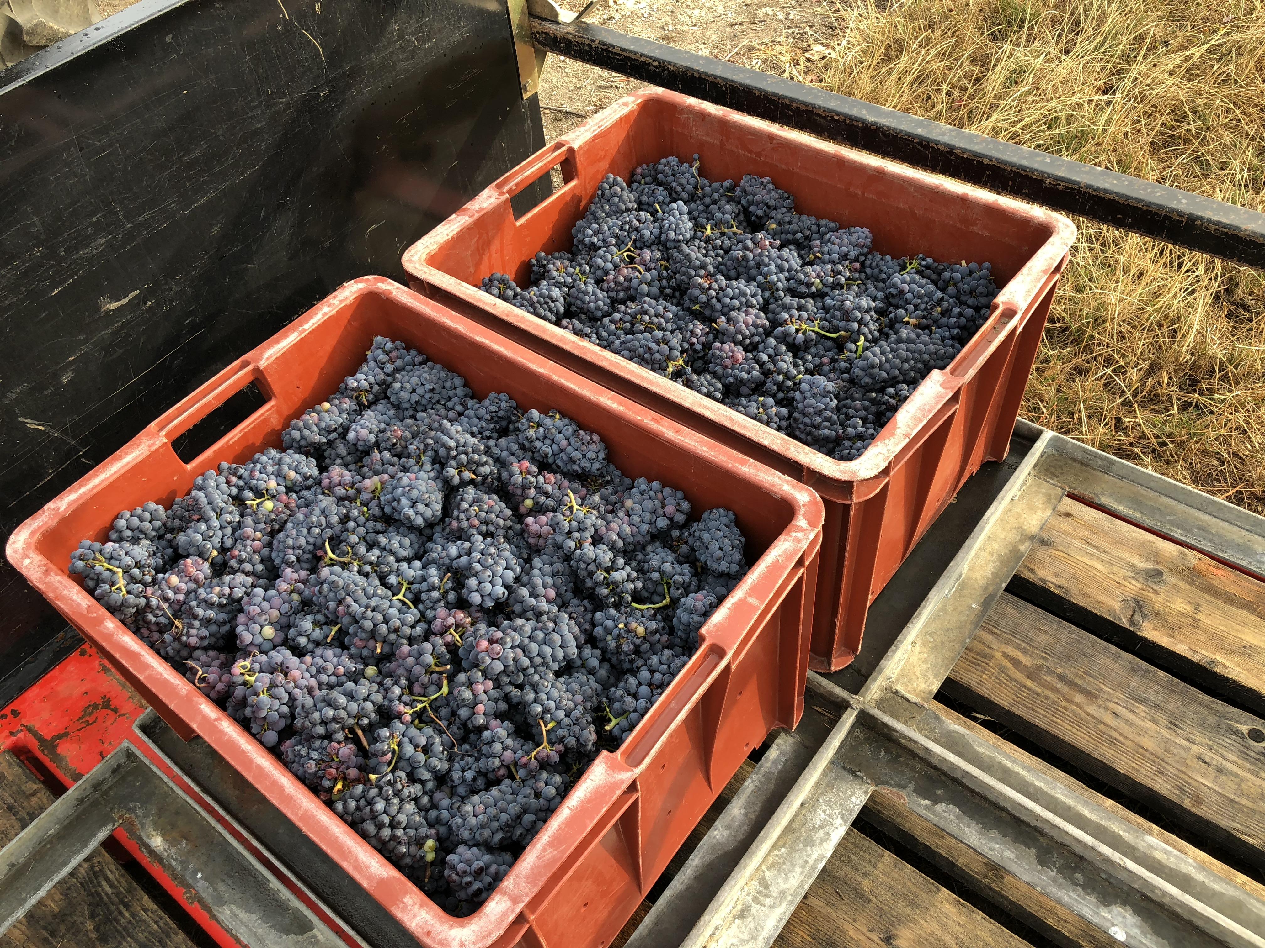 1ères caisses de meunier 1er cru vieille vigne